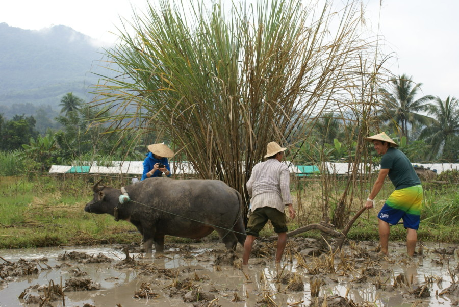 Stray Asia_Rice is Life_Living Land Farm
