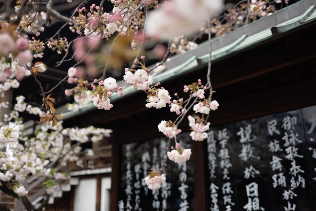 Blooming cherry blossom hangs in front of a building