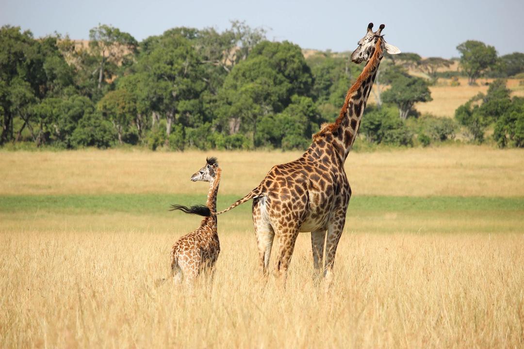 Giraffe-and-baby-Kenya