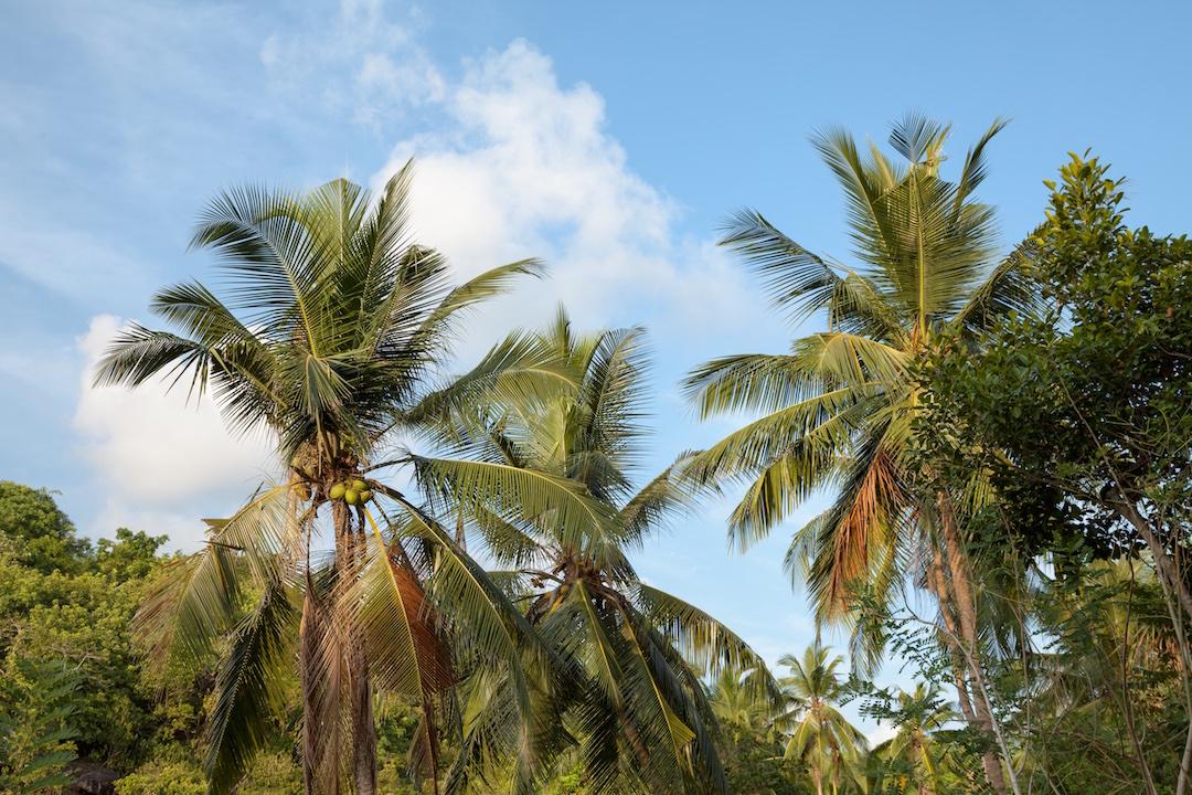 sri lanka palms