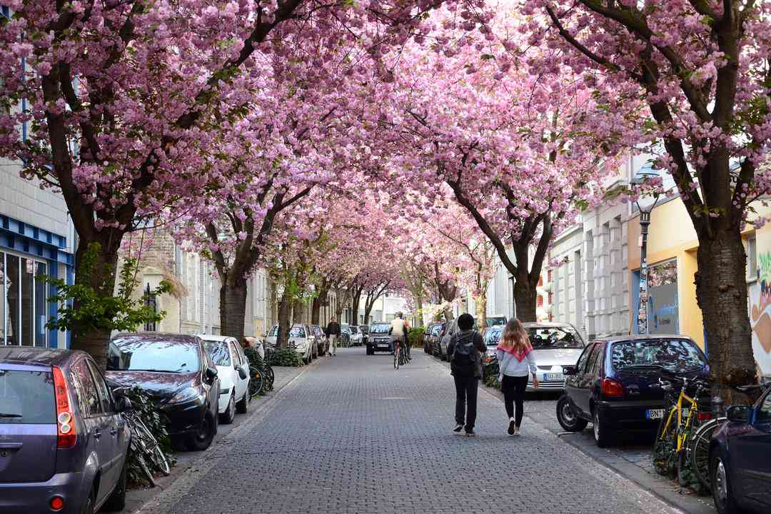 Bonn Germany Cherry Blossoms