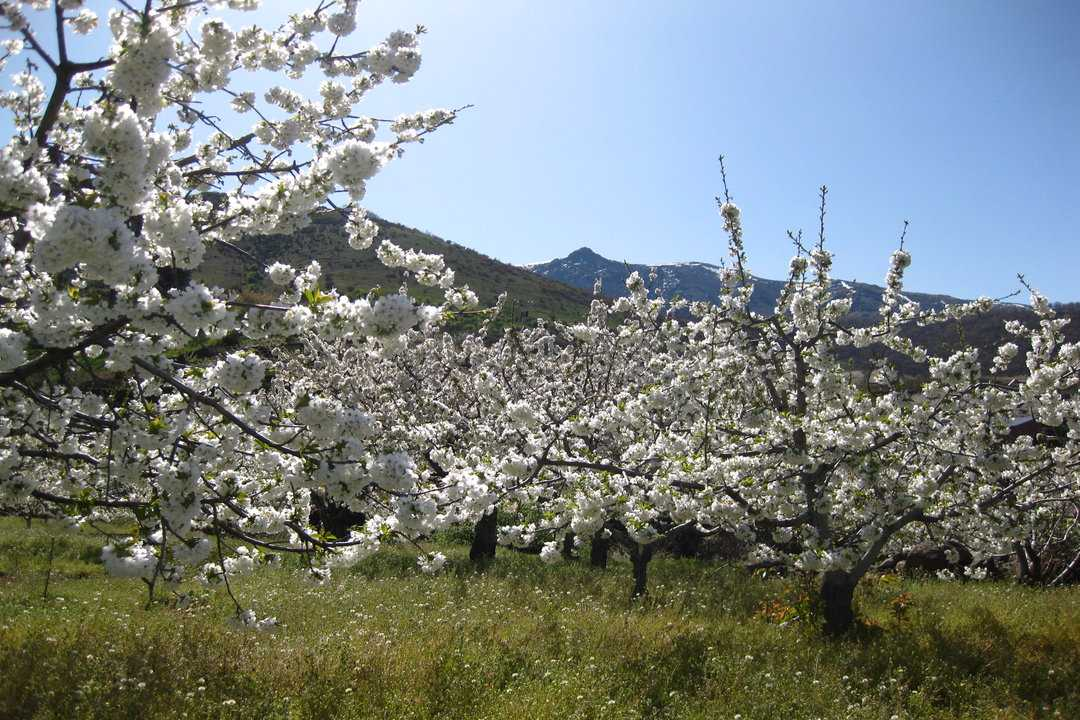 Jerte Valley Cherry Blossom