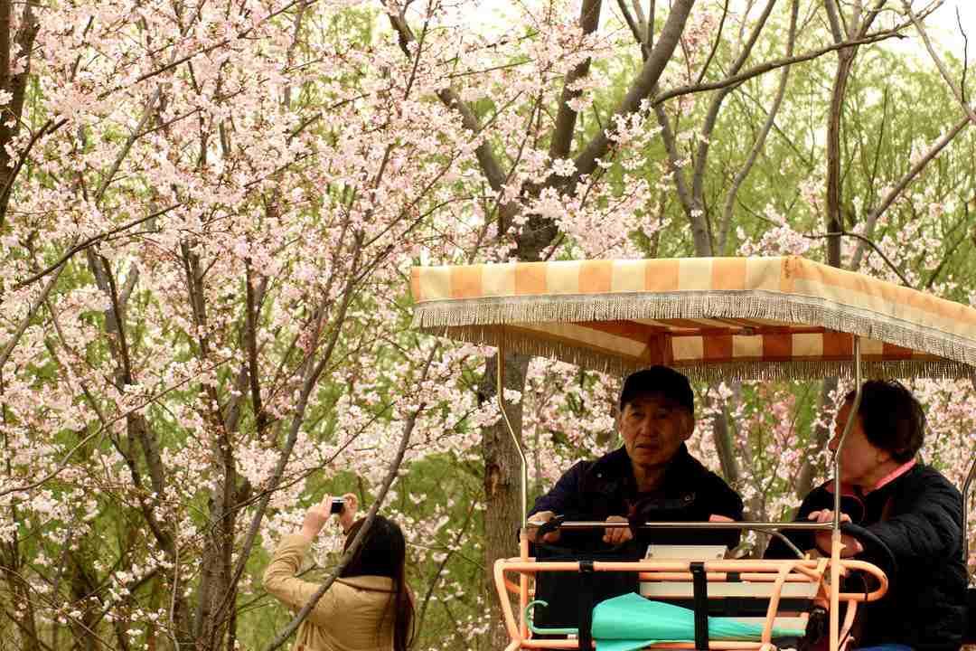 Gucun Park Shanghai Cherry Blossom