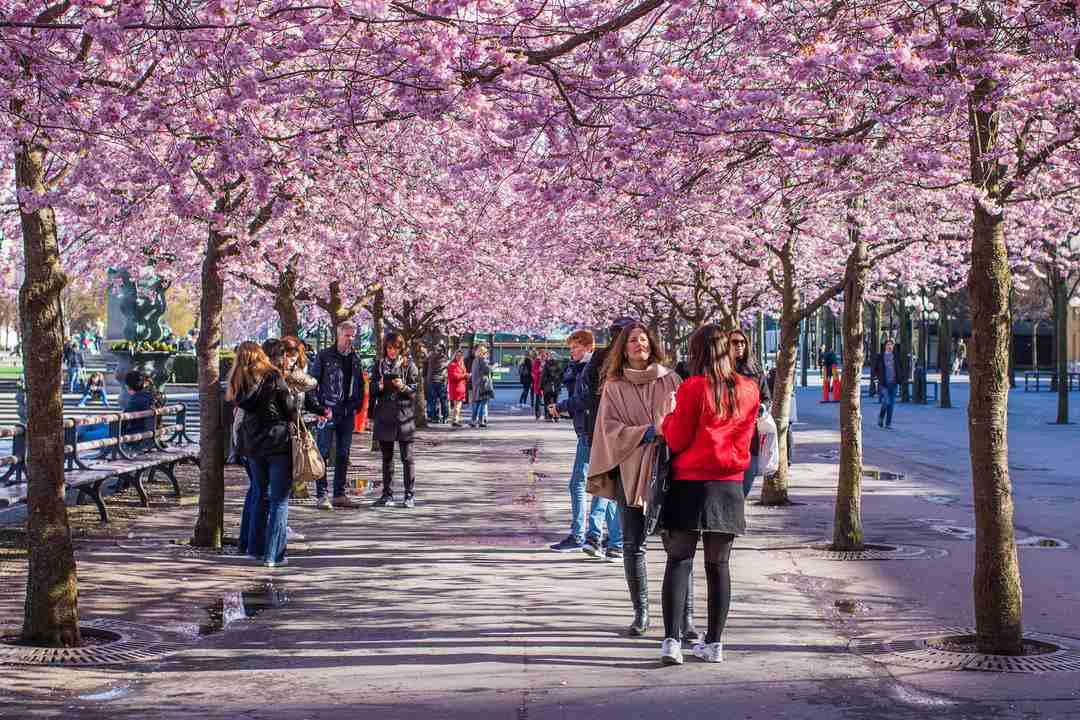 Stockholm Cherry Blossom