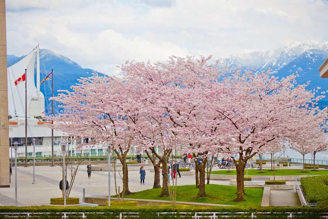 Vancouver Cherry Blossom