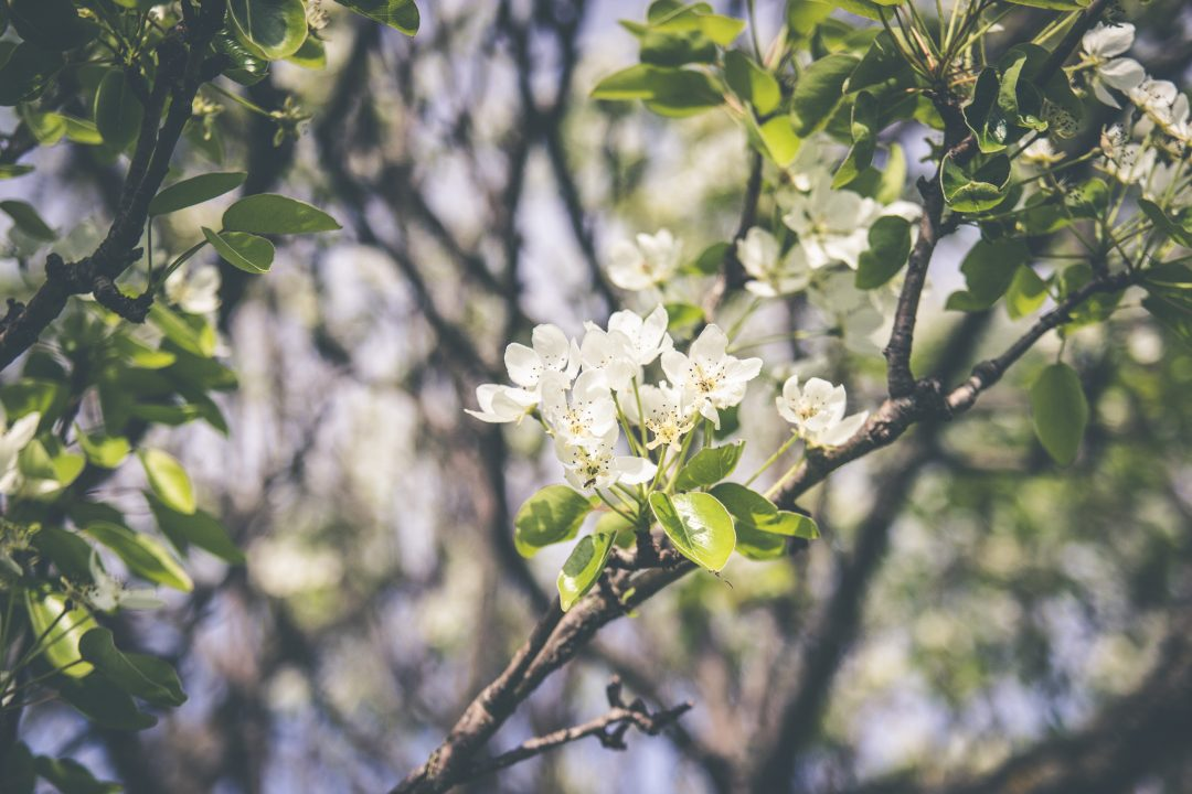 How to Take the Best Photos of Cherry Blossoms on a Smartphone