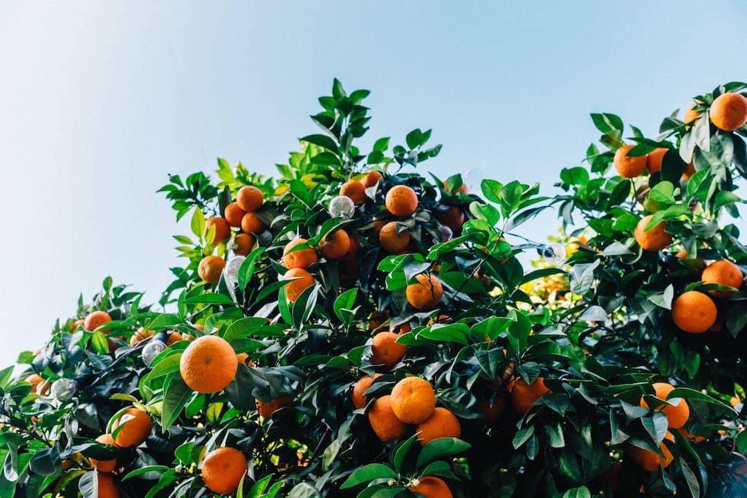 oranges in italy