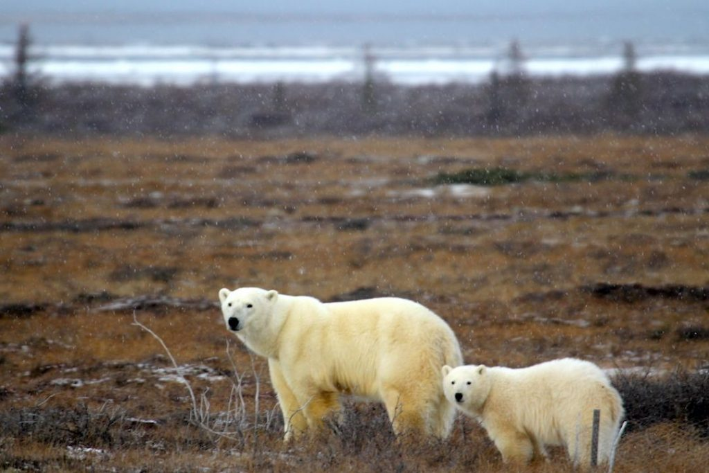 Two polar bears in a brown field, one of them is an adult the other one is a child