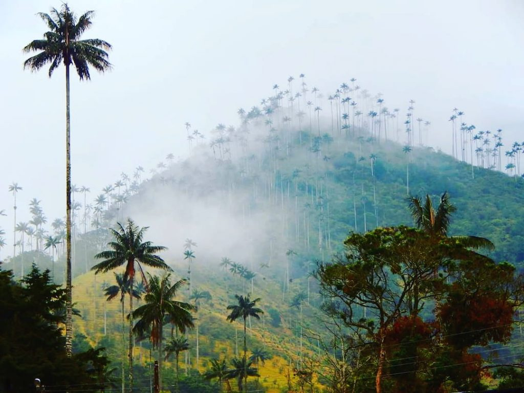 Palm tree forests on a rolling hill in shrouded in mist in Colombia