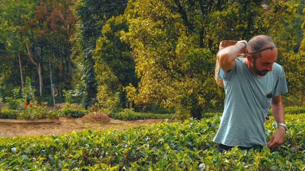 Traveller with a basket on his back amongst a grove of tea leaves