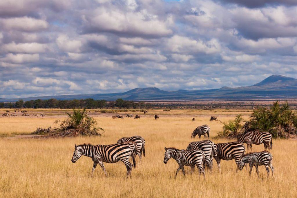 zebra's in a golden field in Kenya