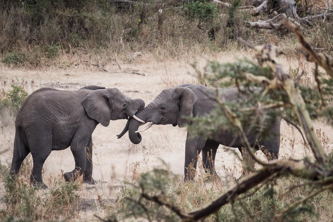 Two young elephants- South Africa vs Tanzania