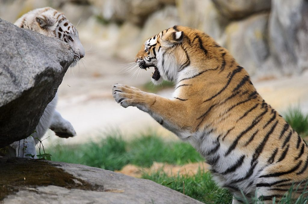 Two bengal tigers playing at a reserve