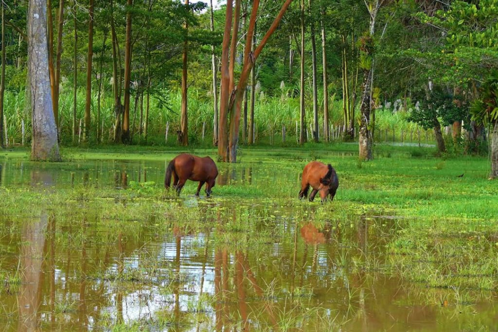 Horses grazing in the Amazon River, Iquitos