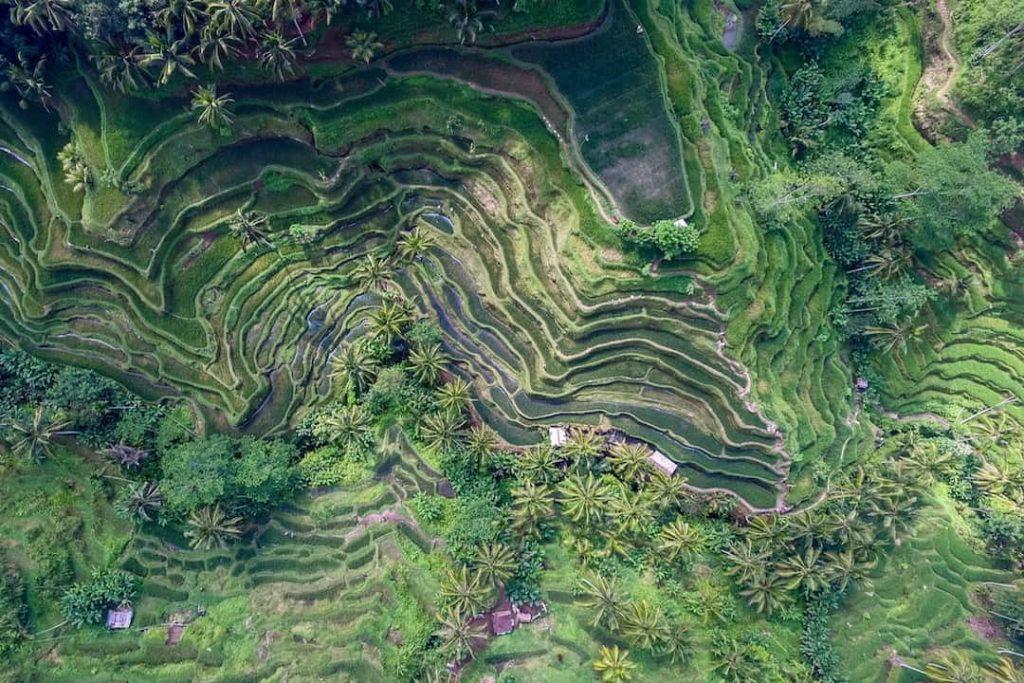 A green rice terrace in Bali