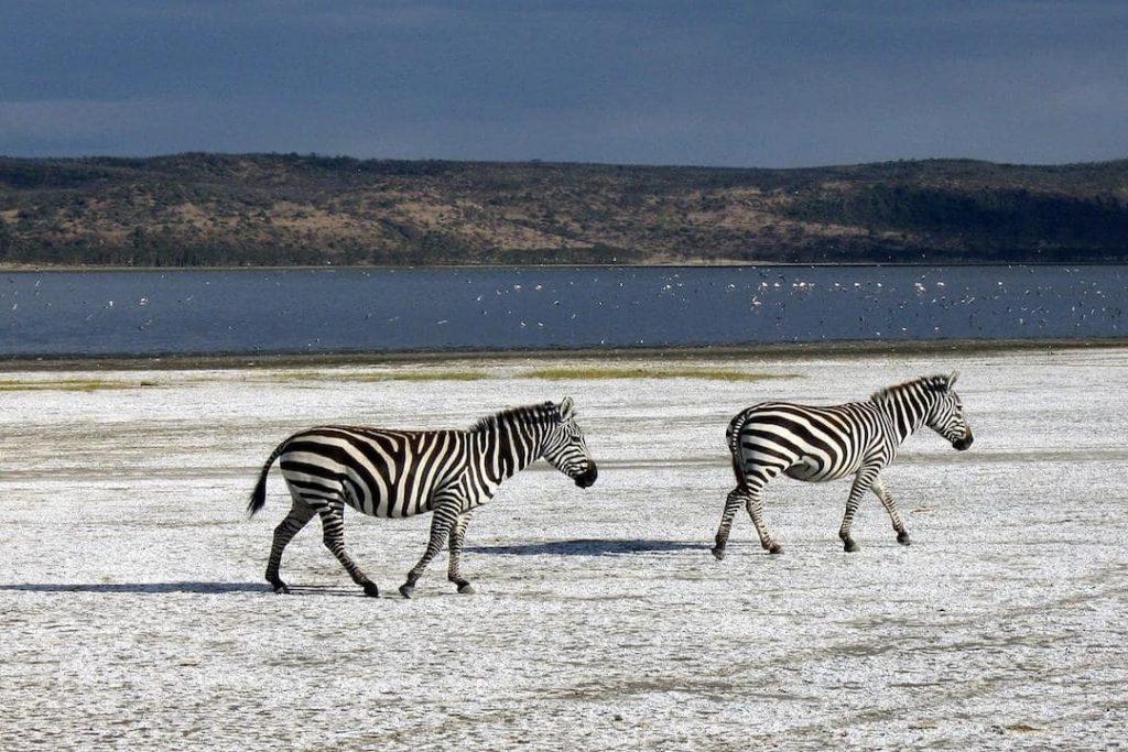 Two zebras walking across a plain near a body of water in Kenya
