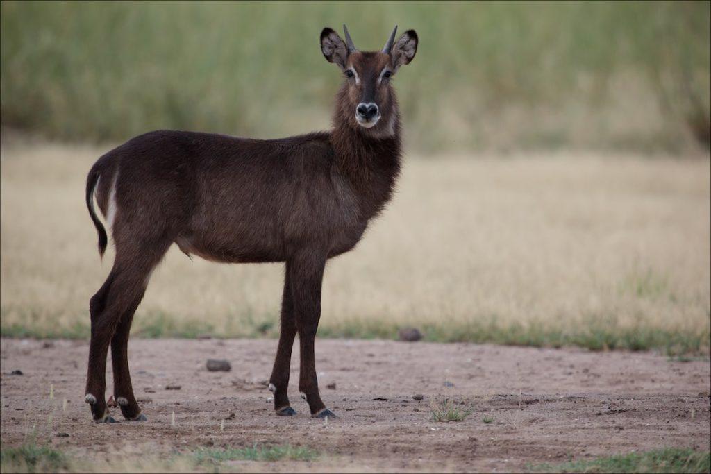 an antelope in the RIft Valley, Kenya