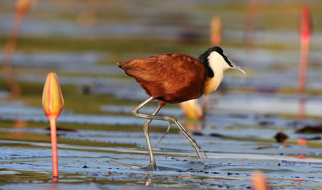 A bird with a brown body and white face and black crown walks along the river
