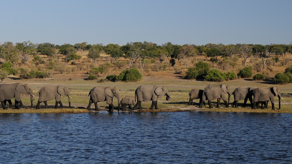 Elephants marching along the river banks in a row