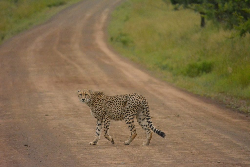 Cheetah on the road in Africa