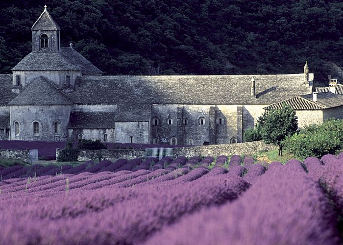 rows of blooming lavender flowers in front of a castle