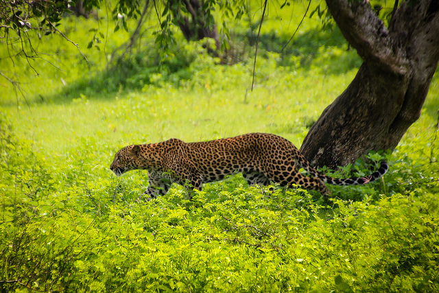 a leopard stalks through tall bright green leaves