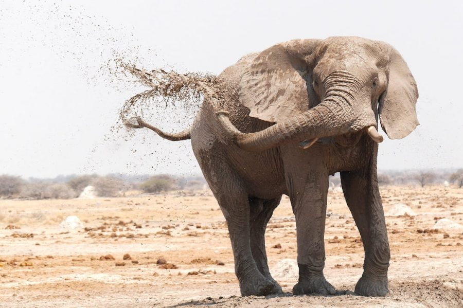A baby elephant throwing water up in the air