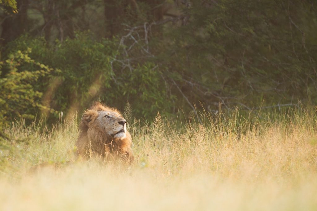 brown lion lying on tall grasses during daytime
