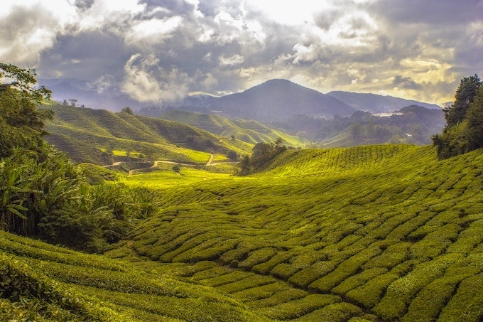 Expansive green fields in the Cameron Highlands, Malaysia