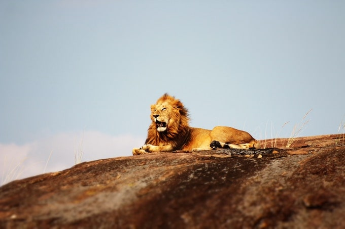 A lion sitting on a rock in Serengeti National Park, Tanzania