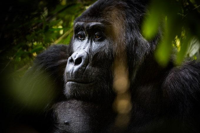 A close-up photo of a gorilla