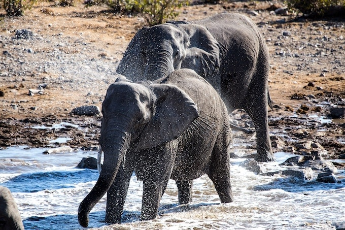 Two elephants crossing a river in Etosha National Park, Namibia