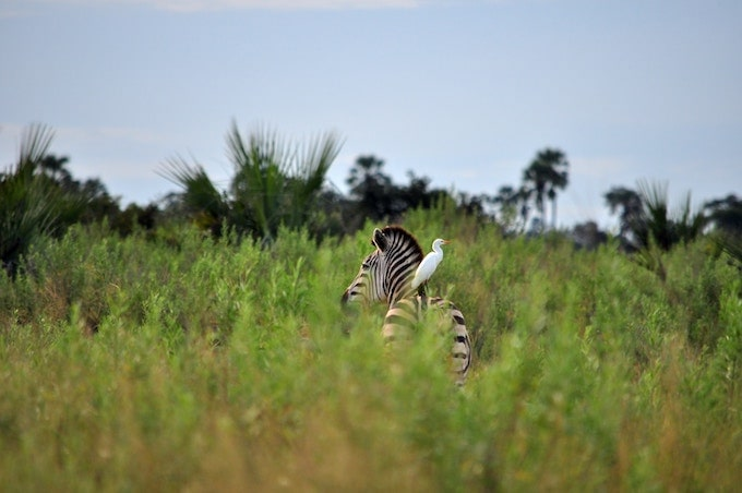A zebra with a bird standing on its back in Moremi Game Reserve, Botswana