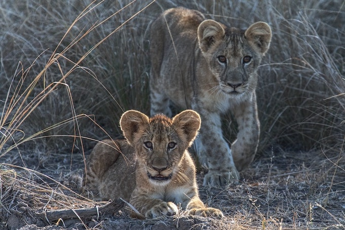 Two lion cubs in South Luangwa National Park, Zambia