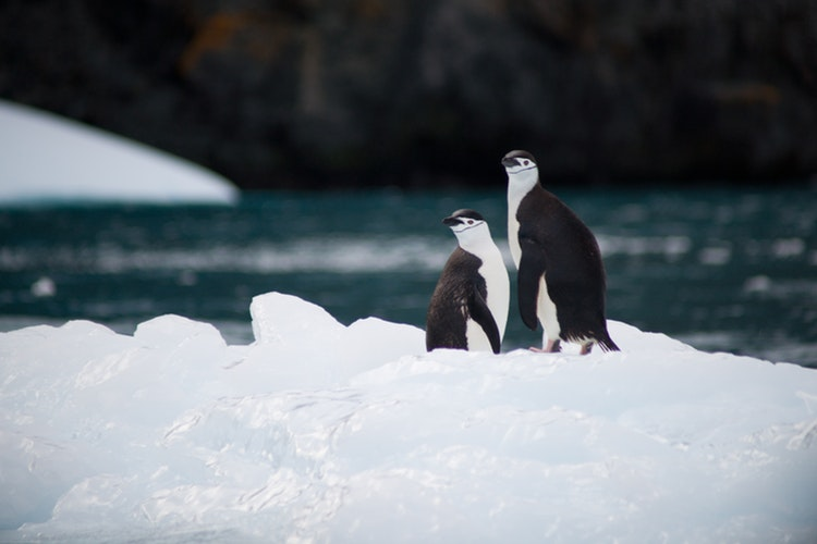 two chinstrap penguins standing on ice near body of water