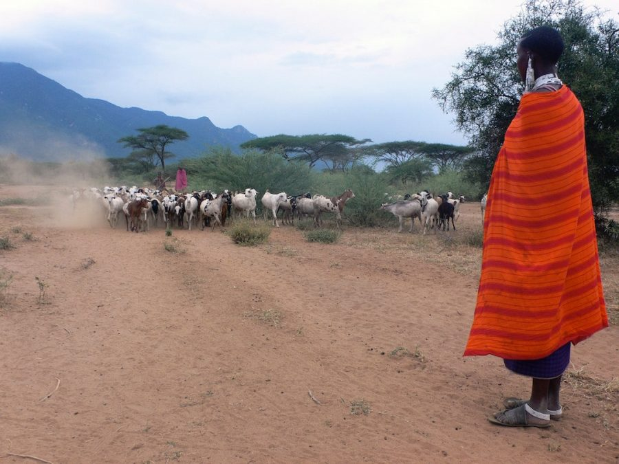 A Maasai tribesperson person overlooking a herd of animals