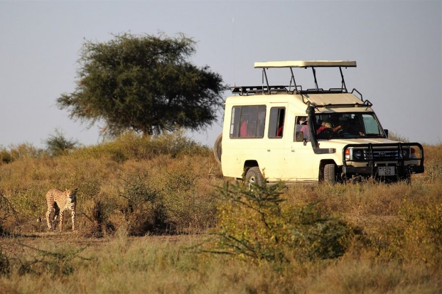 A safari truck in Africa travelling alongside a cheetah
