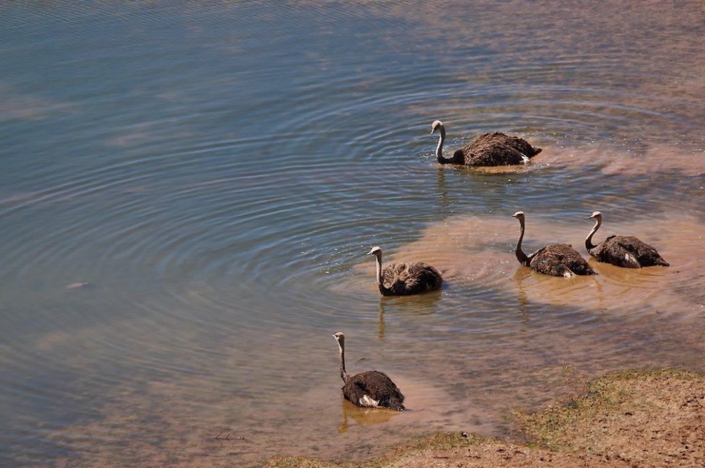 Ostriches-in-water