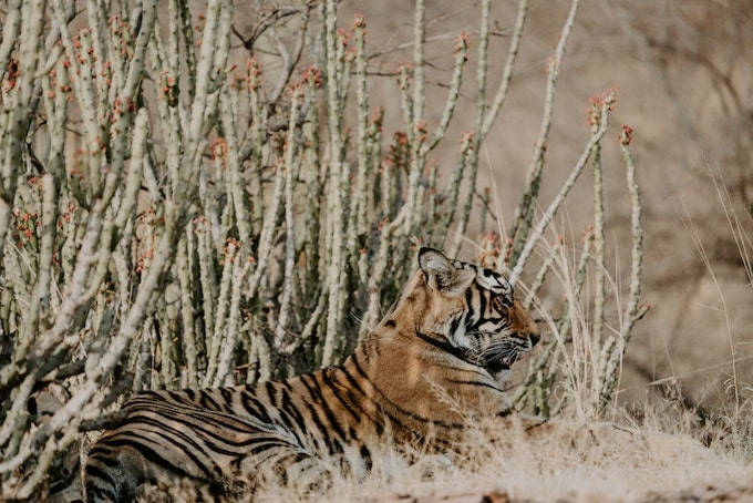 a tiger in Rathanmore National Park, India