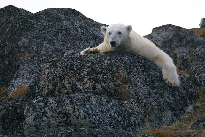 A polar bear on a rock in Svalbard, Norway