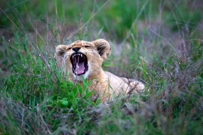 A lion cub yawning in Kruger, South Africa