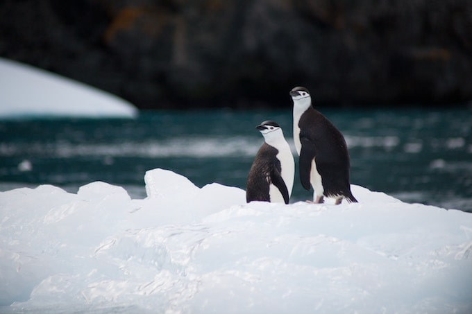 Two chinstrap penguins standing beside each other in Antarctica