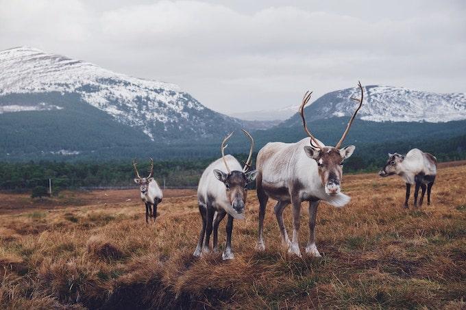 Reindeer Holidays: Our Favourite Reindeer Safaris