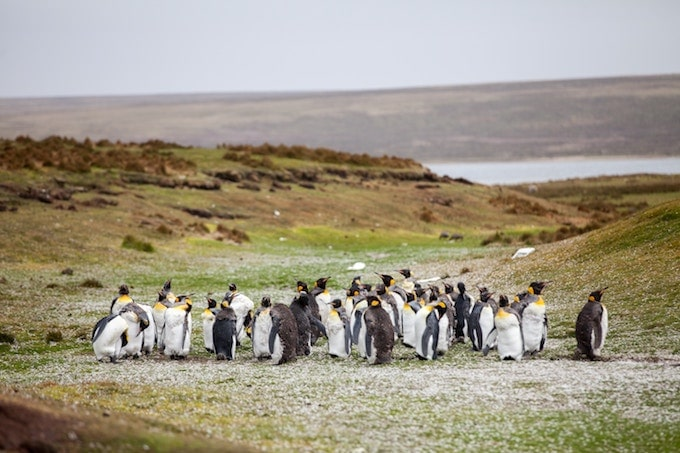 a flock of penguins in the Falkland Islands