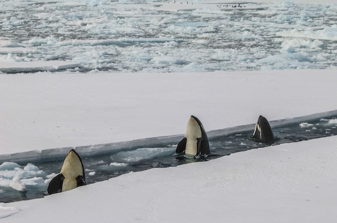 Three killer whales surfacing in search for food in antarctica