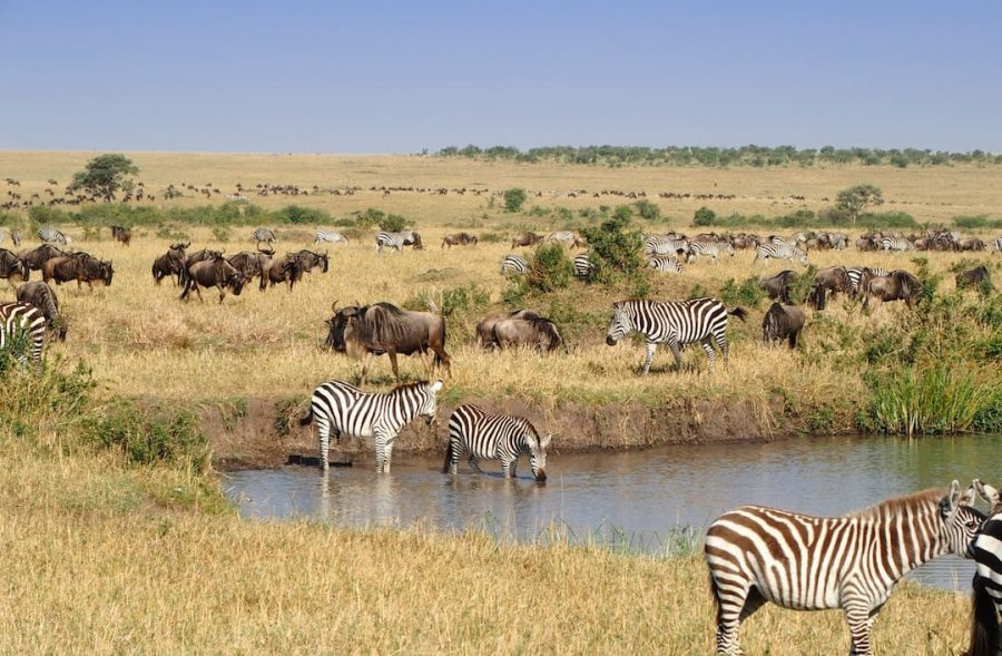 Zebras and buffalo standing in a watering hole.