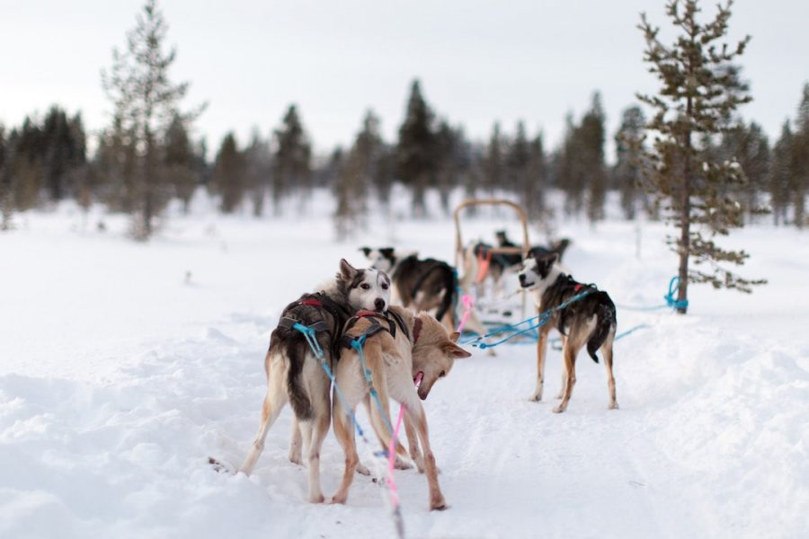 A group of dogs and a sled in Finland.