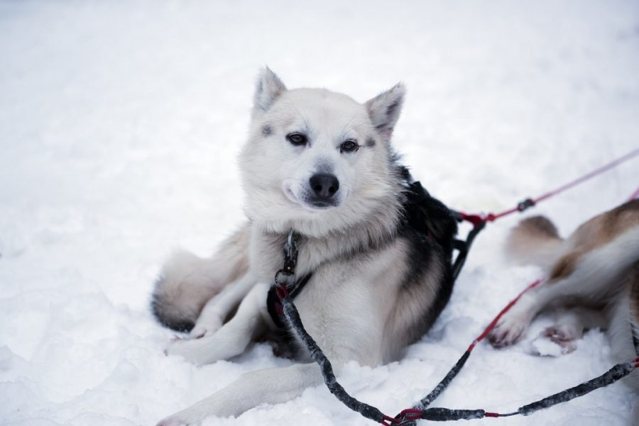 Single dog and a harness in Finland