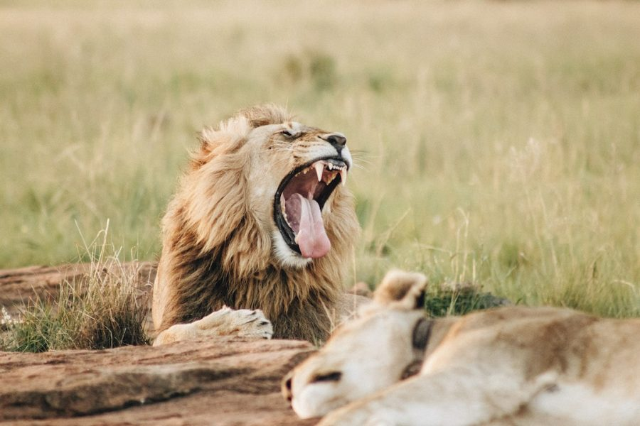 Lion yawning in the wild