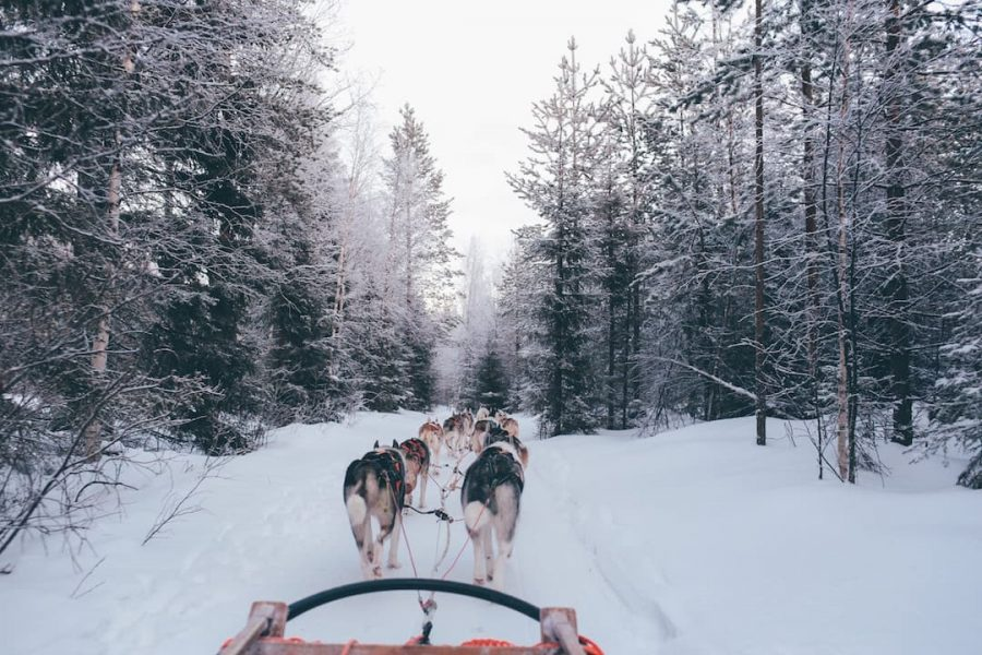 Husky sled in the forests of Finland